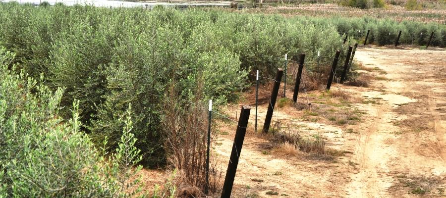 Terra Dolva Olives are arbequina